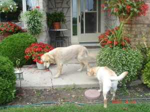 Lola and Champ in a Friendly Dog Greeting.