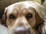 Close up picture of Lola, my yellow Labrador.