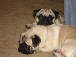 2 cute pugs named Clyde and Tater raised without dangerous dog food ingredients.