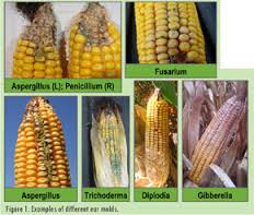 moldy corn, mycotoxins in dog food